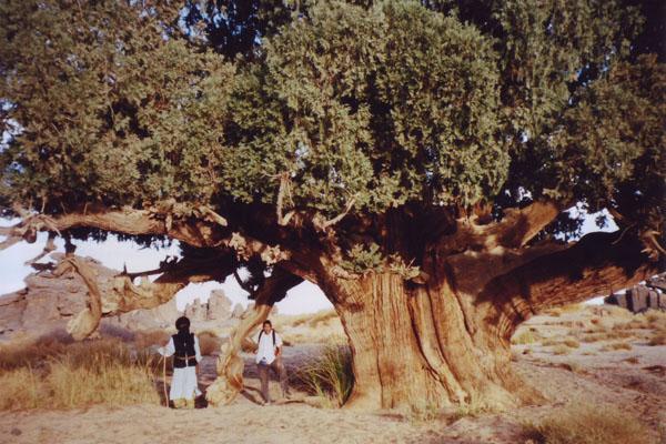 Cypress_Three02.jpg